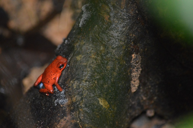 Red Poison Dart Tree Frog
